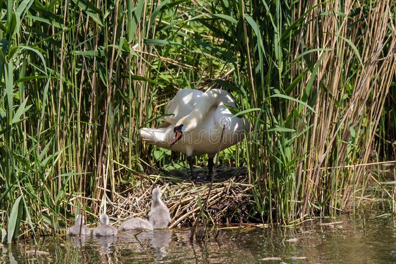 Mute swan parenting the young cygnets. Mute swan looking after  his offspring. Swans mate for life and the male takes part in parenting the young cygnets royalty free stock photos