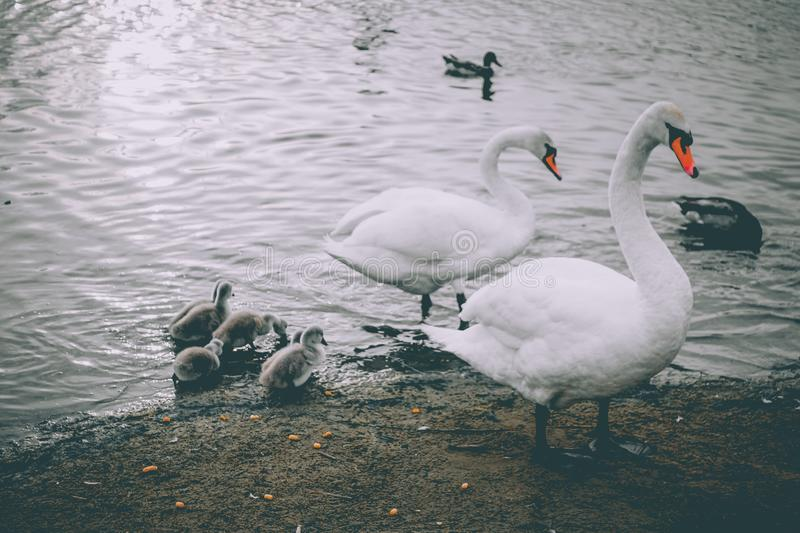 Mute Swans. Mute Swan parents in lake together with offspring royalty free stock photo