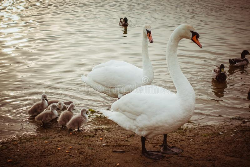 Mute Swans with babies. Mute Swan parents in lake together with offspring royalty free stock images