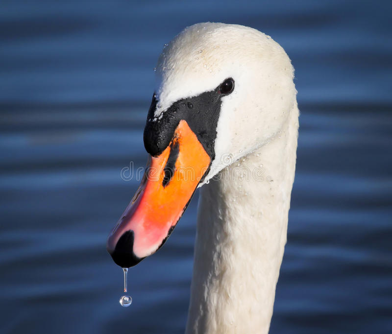 Mute Swan portrait. Close up picture of head royalty free stock image