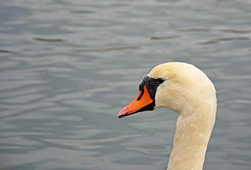 The Mute Swan portrait. The close up portrait of a mute swan with background of lake water in grey The mute swan is a species of swans and a member of the royalty free stock images