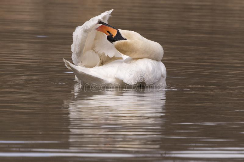 Download A mute swan preening stock image. Image of swan, pond - 112354375