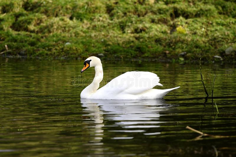 Mute Swan reflections stock images