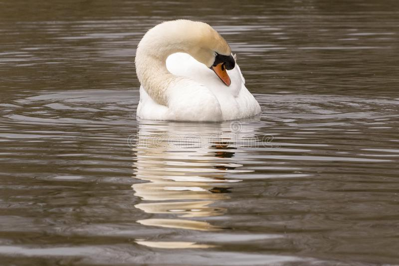 Download A Mute Swan Resting On  The Cemetery Lake,  Southampton Common Stock Image - Image of lake, hampshire: 113332081