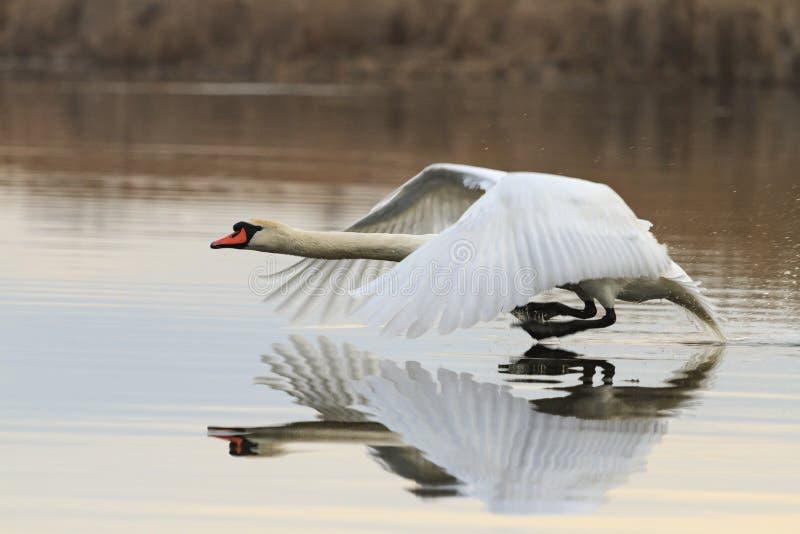 Mute swan running on water stock image