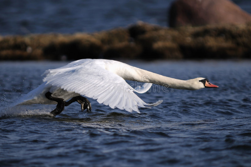 Mute Swan on the runway stock photography