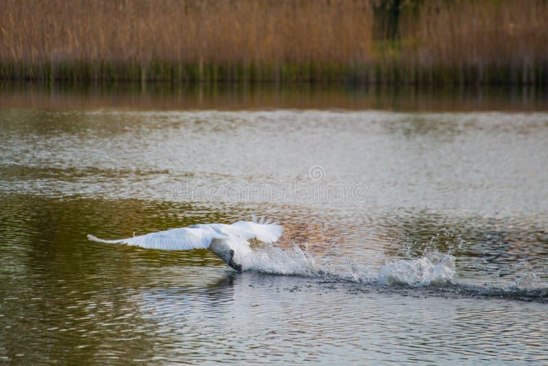 Mute swan splashing lake water while running and waving wings. Beautiful wild bird royalty free stock image