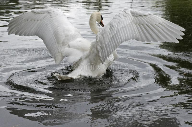 A mute swan stretching its wings. A mute swan on the River Itchen at Riverside Park, Southampton stretching its wings stock image