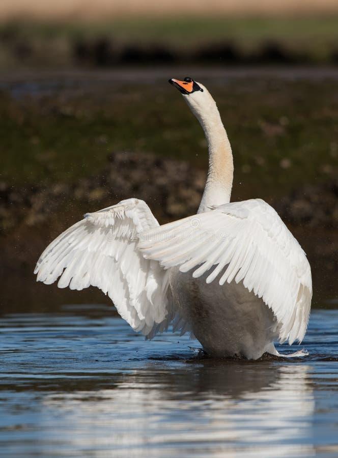 Mute Swan, Swans, Cygnus olor stock photography