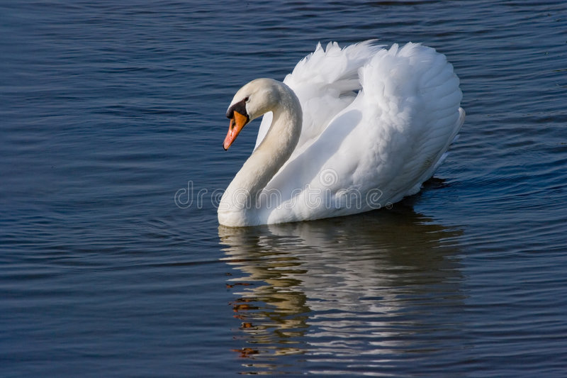 Mute swan swimming. Beautiful white swan sailing like a ship on the water on a sunny april morning stock images
