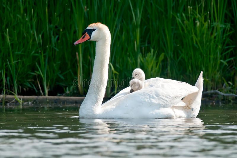 Download Mute Swan stock photo. Image of harbour, animals, bowmanville - 46579946