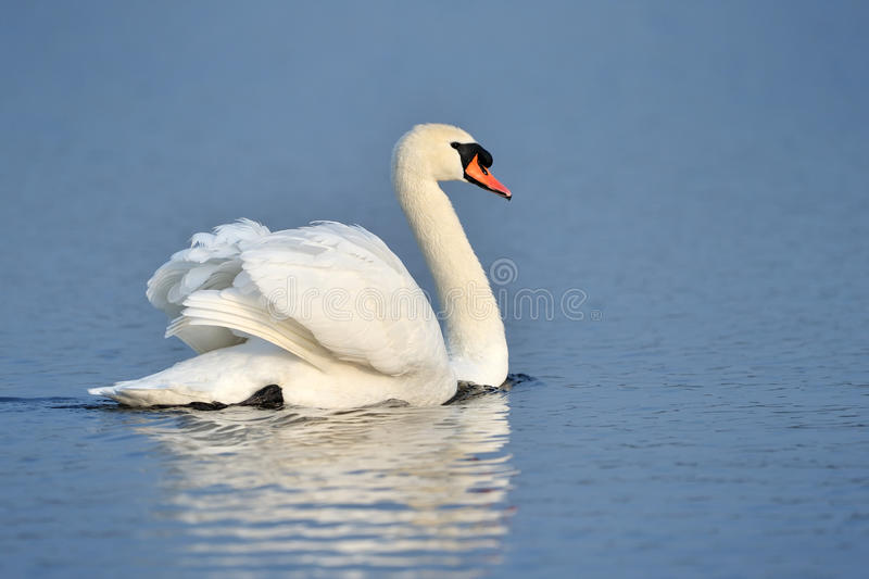 Mute Swan. Swimming in blue lake stock photos