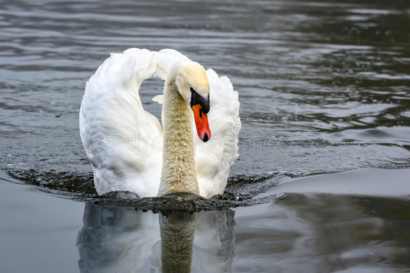 Mute swan is swimming fast stock photos
