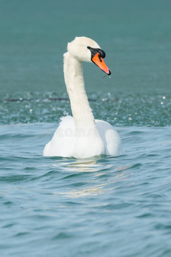 Mute Swan. Swimming in the icy water royalty free stock photos