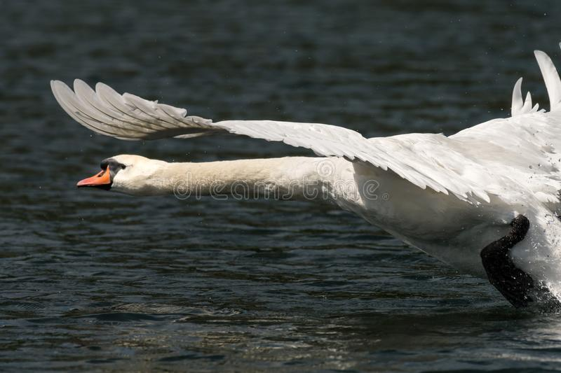 A mute swan taking off from the water stock photos