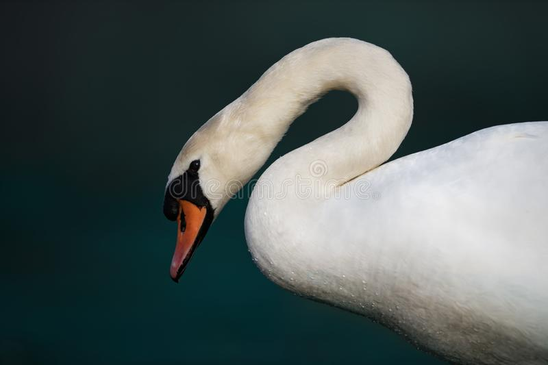 Mute Swan on teal Background royalty free stock photography