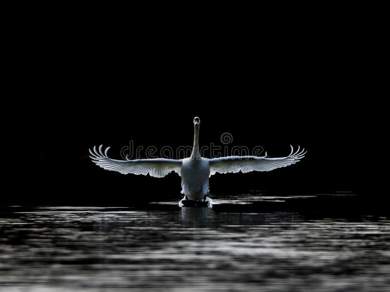 Touch-down, mute swan landing with dark background stock photos