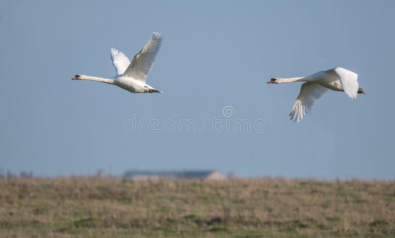 Mute Swan in vlucht royalty-vrije stock afbeeldingen