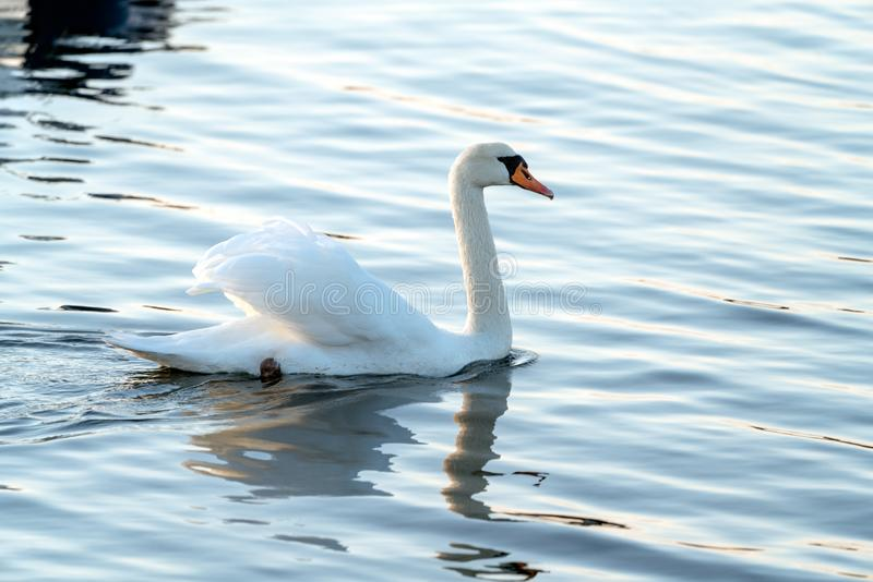 Mute swan. On the water royalty free stock photo