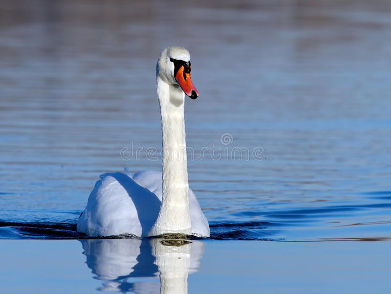 Mute swan on water stock photography