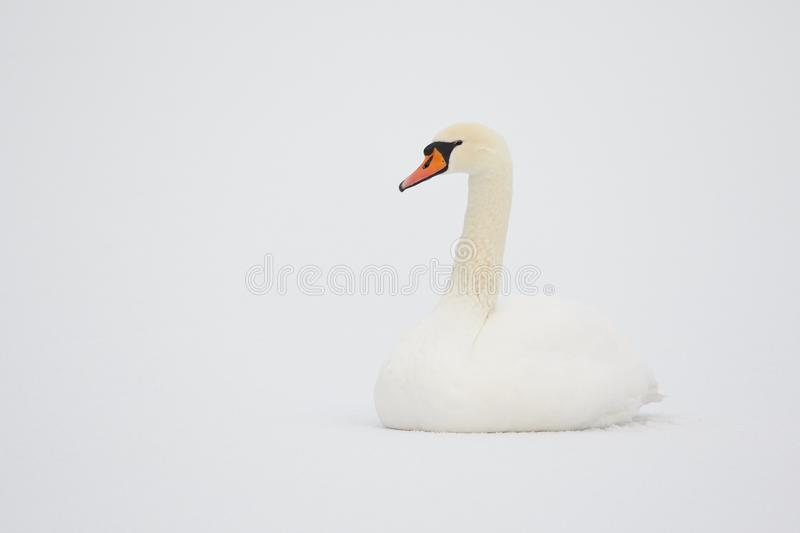 Mute Swan in white snow. Mute Swan (Cygnus Olor) sitting on ice of a snowy lake in Finland in the winter. Pure white snow on the background royalty free stock images
