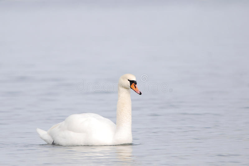 Mute Swan in winter. Mute Swan swimming in mellow light royalty free stock photos