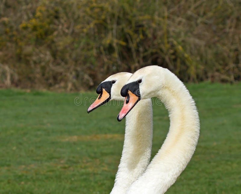 Mute Swans stock images
