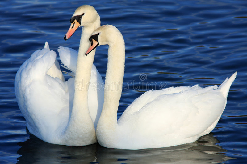 Mute Swans. Two mute swans in a display of affection at the Wildfowl and Wetland Trust Reserve at Caerlaverock in South West Scotland, UK. It is a protected