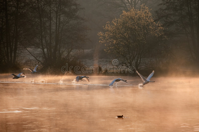 Mute Swans. Mute Swan Taking Off in a misty morning. Surrey, United Kingdom royalty free stock photography