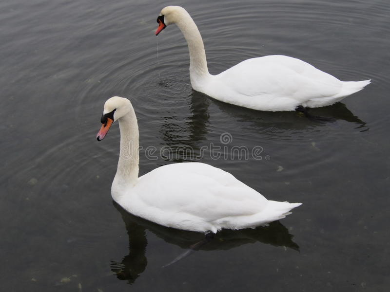 Mute swans in the Bronx. NY state has drawn up a plan to eliminate all Mute Swans by the year 2025 . The plan has been met with strong opposition . Mute Swans royalty free stock images