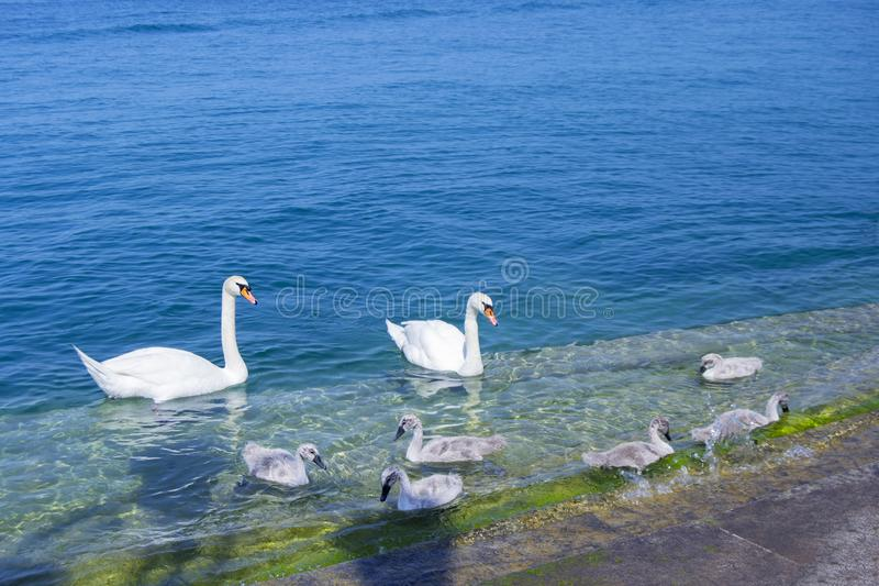 Mute swans family: 6 cygnets, male and female on the river of Garda lake in Lazise. Verona, Northern Italy. Cygnus, Anseriformes, Aves royalty free stock photography