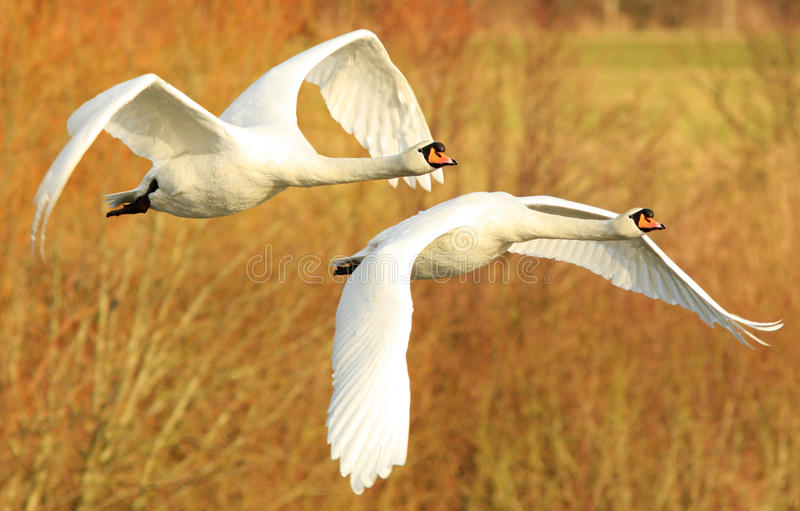 Mute Swans in Flight. Two mute swans in flight at the Wildfowl and Wetland Trust Reserve at Caerlaverock in South West Scotland, UK. It is a protected species stock photos