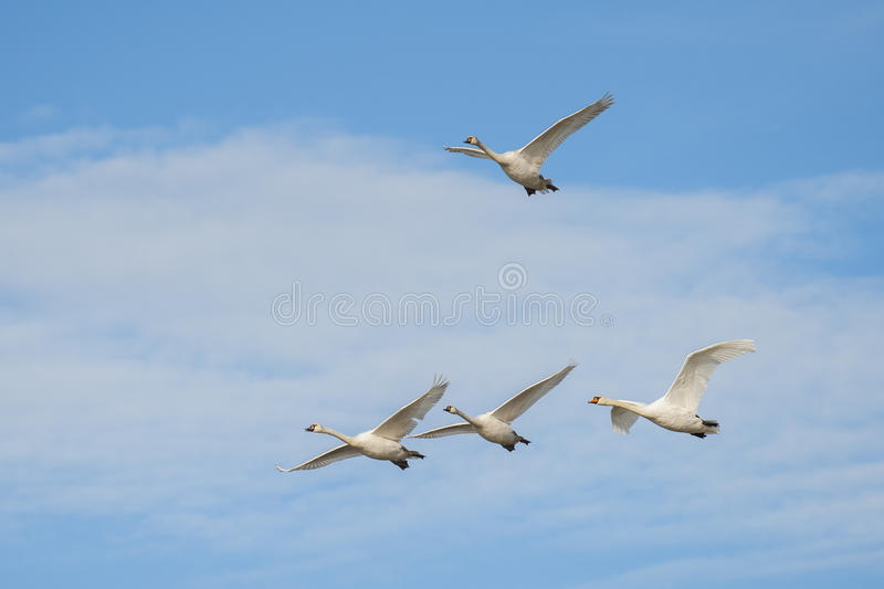 Mute swans in flight. On a blue sky with clouds stock images