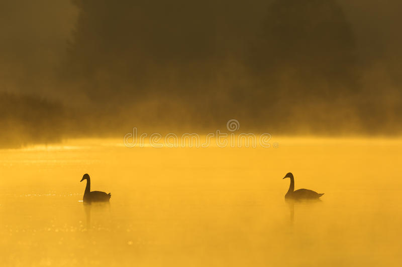 Mute swans in mist. Mute Swans (Cygnus olor) on Misty Lake at Sunrise, Germany, Europe royalty free stock image
