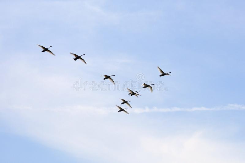 Mute swans on their way stock photo
