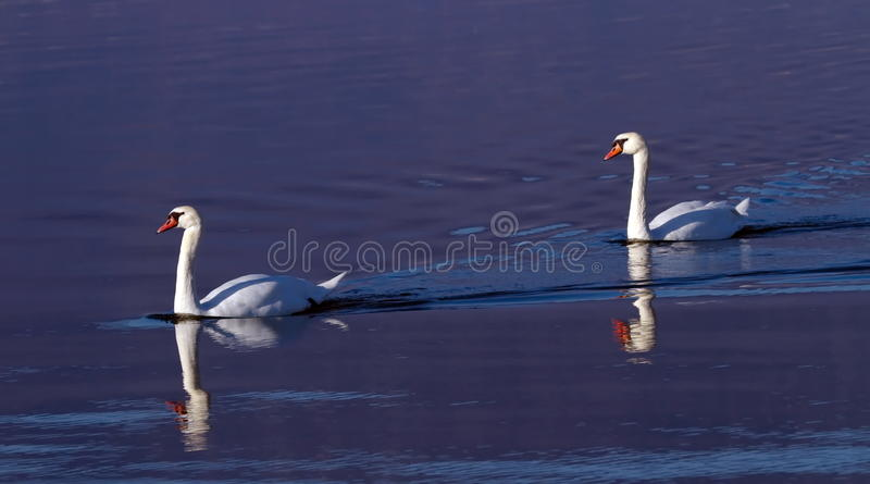 Mute swans on water royalty free stock photography
