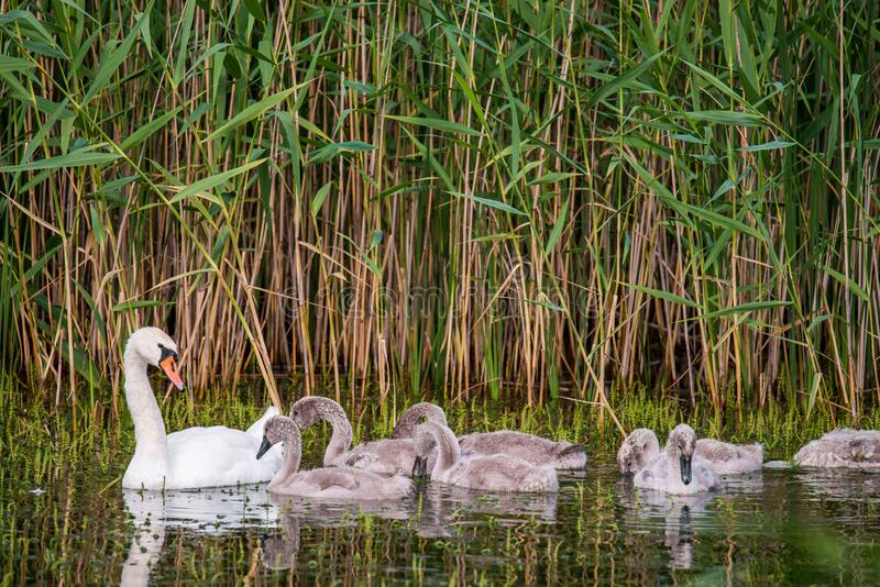 Mute white Swan with chicks stock images