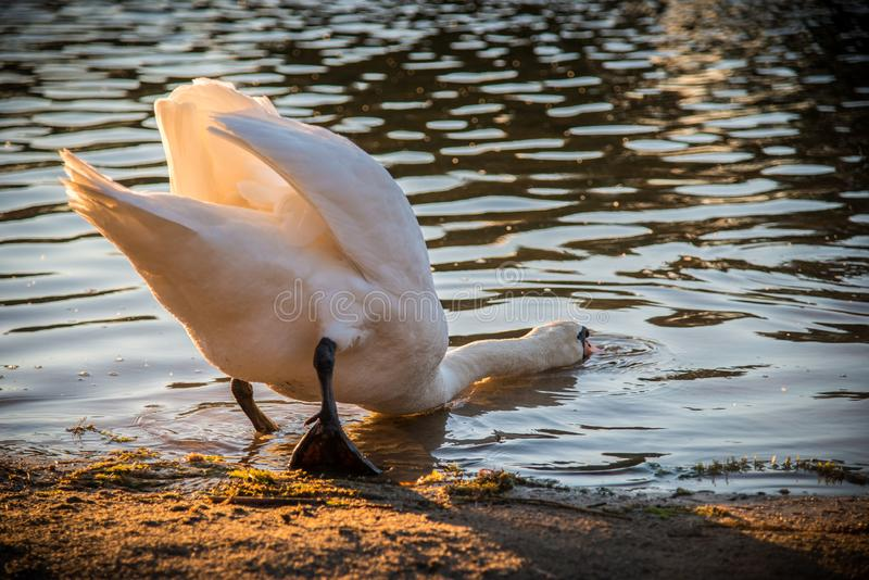 Mute white swan eating. Head in water stock photos