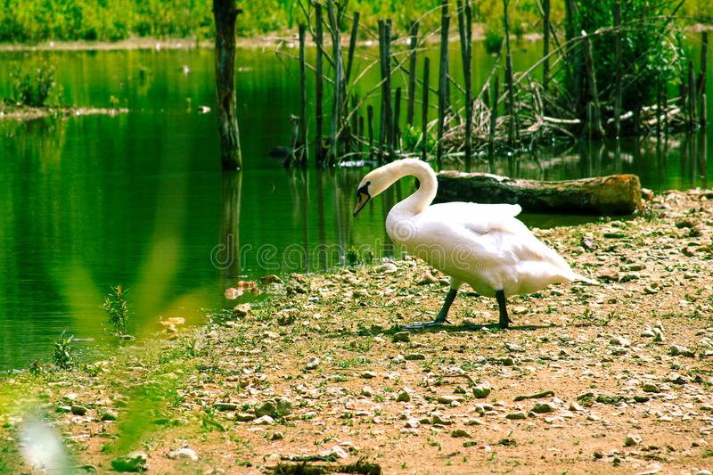 Mute white swan visible entirely. Flippers and wings outdoors in nature. Large white waterfowl walking towards the water of a green swamp stock photos