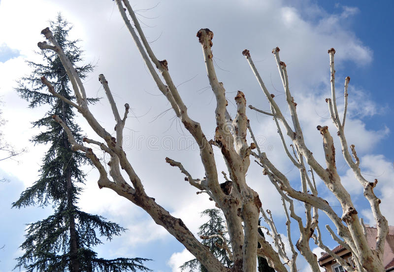 Mutilated trees stock photography
