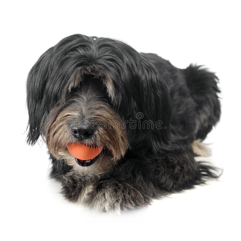 Mutt dog plays with an orange ball in studio stock image