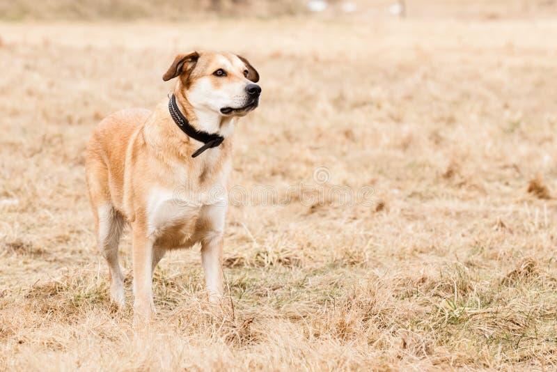 Mutt of Labrador and German Shepherd. On dry grass stock photo