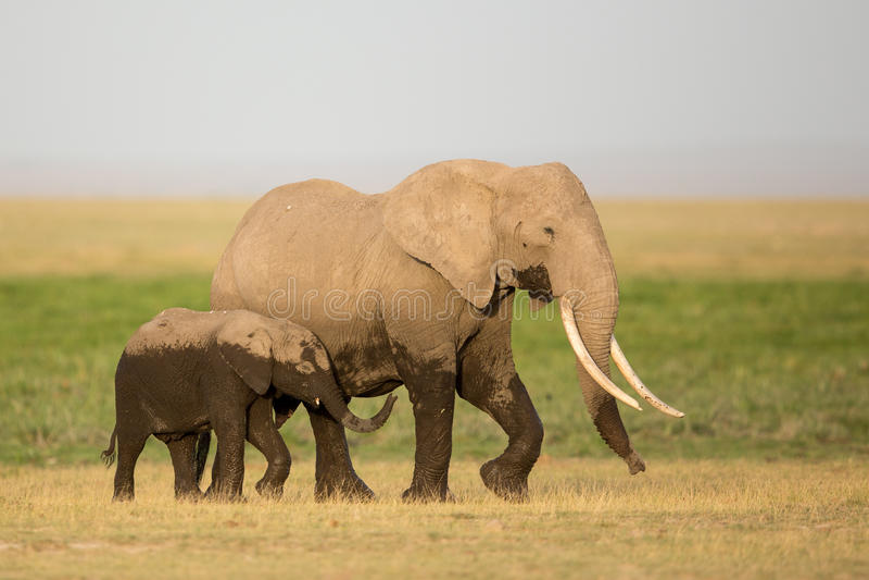 Mutter des afrikanischen Elefanten und Kalb, Amboseli, Kenia lizenzfreie stockfotografie