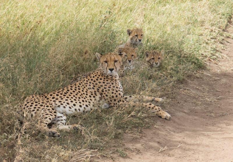 Mutter-Gepard und ihre Jungen stockfotografie