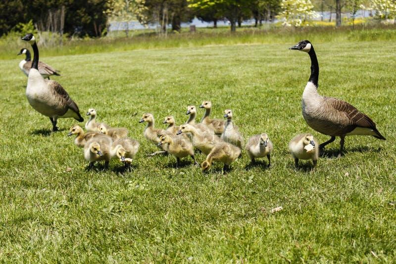 Mutter Goose1 lizenzfreies stockbild