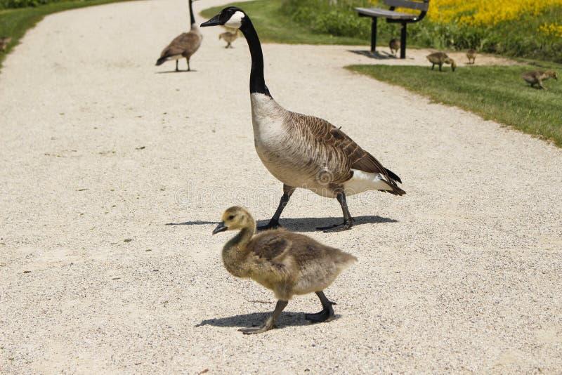 Mutter Goose3 lizenzfreies stockfoto