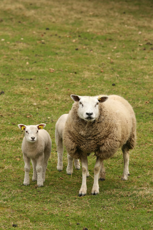 Mutter mit dem Lamm, das Sie betrachtet stockfotos
