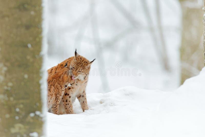 Mutter mit Jungen, Wildkatzefamilie Luchs im Lebensraum der Naturwild lebenden tiere Zwei Katze, Baumschnee Luchs im Schneewaldeu lizenzfreies stockbild