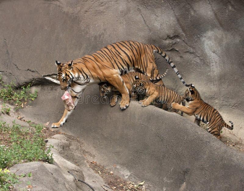 Mutter-Tiger mit drei CUB, das ihr folgt stockfoto