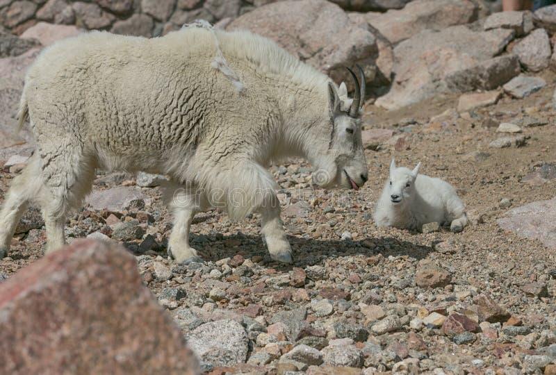Mutter-und Baby-Gebirgsziegen stockbild